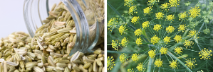 Fennel seeds from foeniculum vulgare