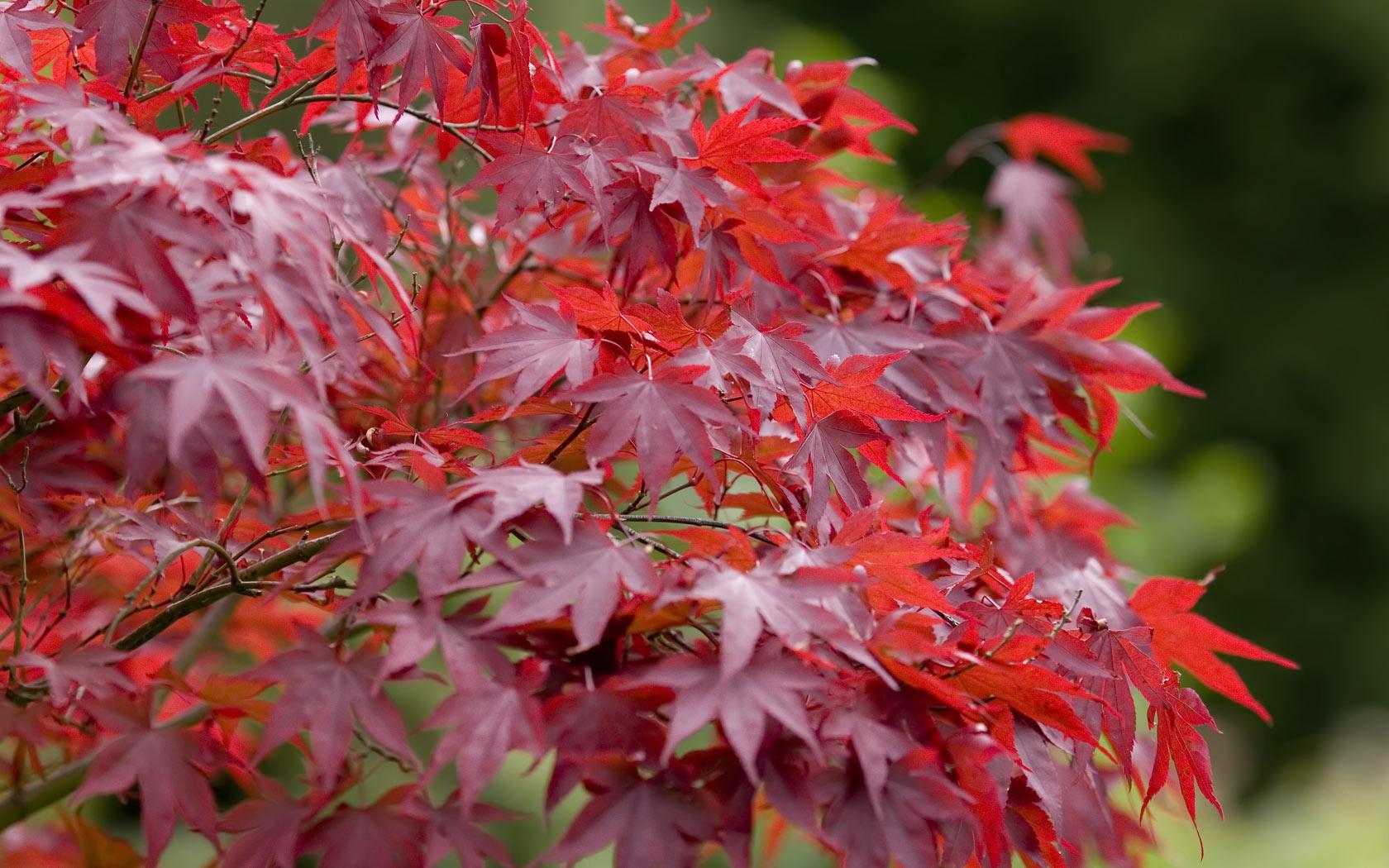 Red Maple Tree Hwaairfan 39 S Blog